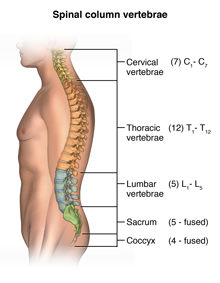 Antomy of the spinal column and vertebrae